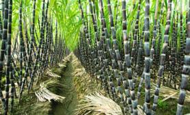 Sugar Cane crops hidalgo mexico