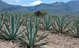 maguey cactus hidalgo